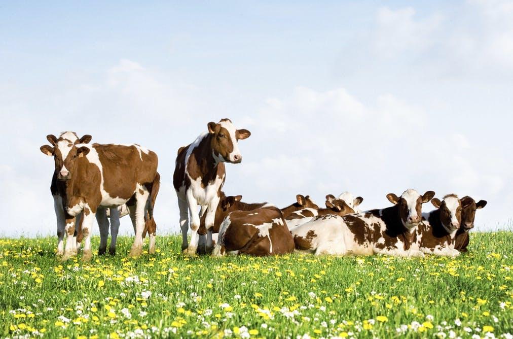 krave - slika